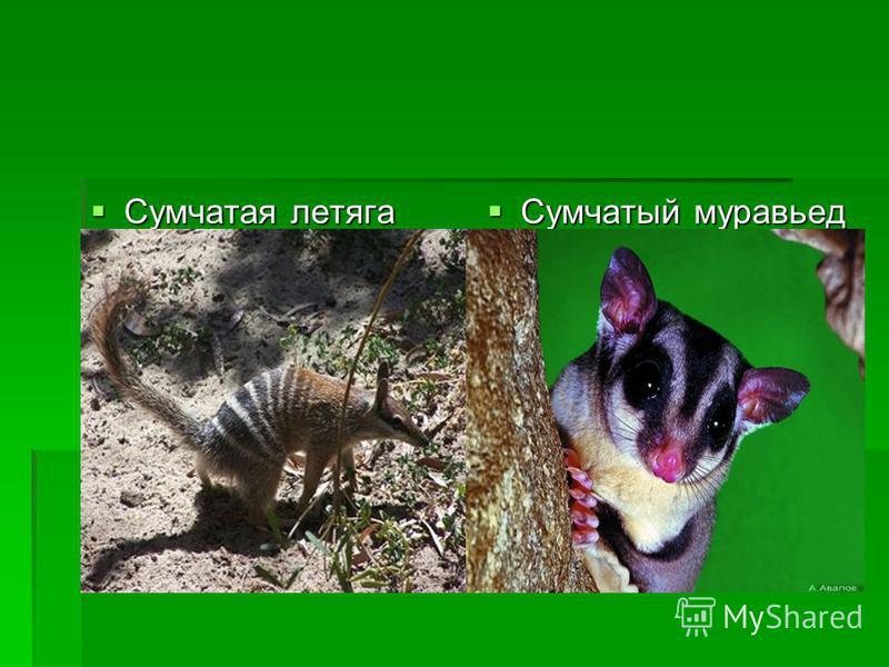 Сумчатая летяга Сумчатая летяга Сумчатый муравьед Сумчатый муравьед
