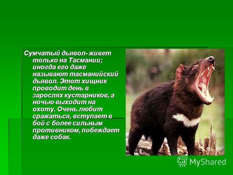 Сумчатый дьявол- живет только на Тасмании; иногда его даже называют тасманийский дьявол. Этот хищник проводит день в зарослях кустарников, а ночью выходит на охоту. Очень любит сражаться, вступает в бой с более сильным противником, побеждает даже соб