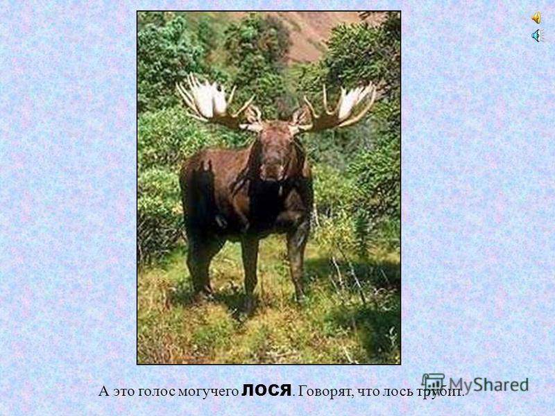 ЛОСЬ Лоси – это самые крупные травоядные животные в русских лесах. Им требуется много корма, поэтому в поисках еды они могут преодолевать расстояния в сотни километров. Питается зверь травой, листьями, молодыми побегами деревьев и кустарников, грибам