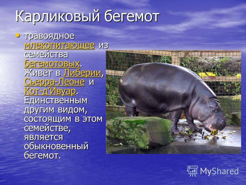Карликовый бегемот травоядное млекопитающее из семейства бегемотов ых. Живёт в Либерии, Сьерра-Леоне и Кот-д Ивуар. Единственным другим видом, состоящим в этом семействе, является обыкновенный бегемот. травоядное млекопитающее из семейства бегемотов