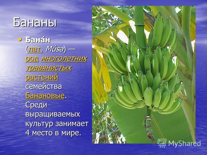 Бананы Бана́н (лат. Músa) род многолетних травянистых растений семейства Банановые. Среди выращиваемых культур занимает 4 место в мире. Бана́н (лат. Músa) род многолетних травянистых растений семейства Банановые. Среди выращиваемых культур занимает 4