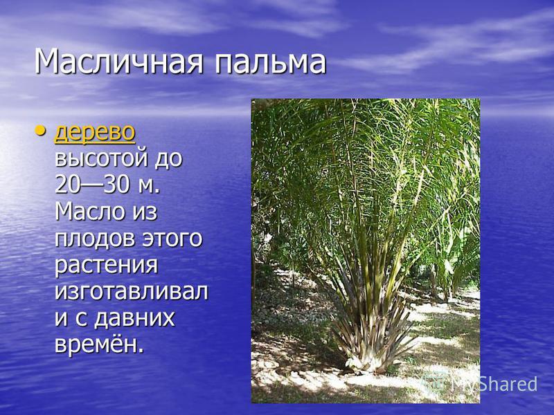 Масличная пальма дерево высотой до 2030 м. Масло из плодов этого растения изготавливал и с давних времён. дерево высотой до 2030 м. Масло из плодов этого растения изготавливал и с давних времён. дерево