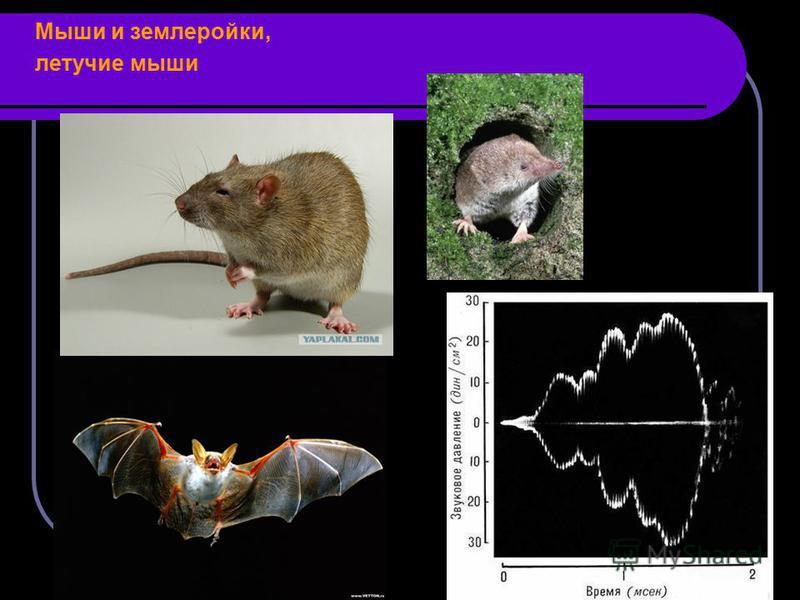 Мыши и землеройки, летучие мыши