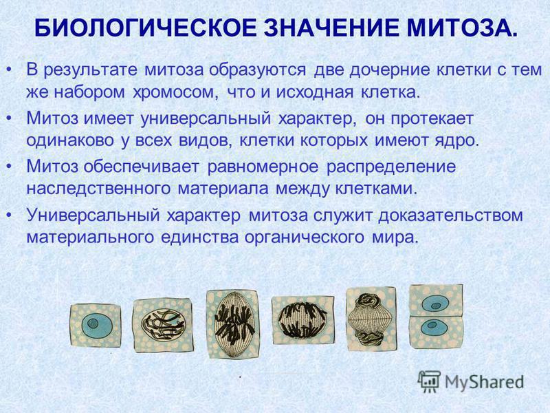 БИОЛОГИЧЕСКОЕ ЗНАЧЕНИЕ МИТОЗА. В результате митоза образуются две дочерние клетки с тем же набором хромосом, что и исходная клетка. Митоз имеет универсальный характер, он протекает одинаково у всех видов, клетки которых имеют ядро. Митоз обеспечивает