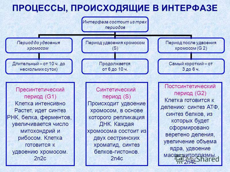 ПРОЦЕССЫ, ПРОИСХОДЯЩИЕ В ИНТЕРФАЗЕ Интерфаза состоит из трех периодов Период до удвоения хромосом Длительный – от 10 ч. до нескольких суток) Период удвоения хромосом (S) Продолжается от 6 до 10 ч. Период после удвоения хромосом (G 2) Самый короткий –