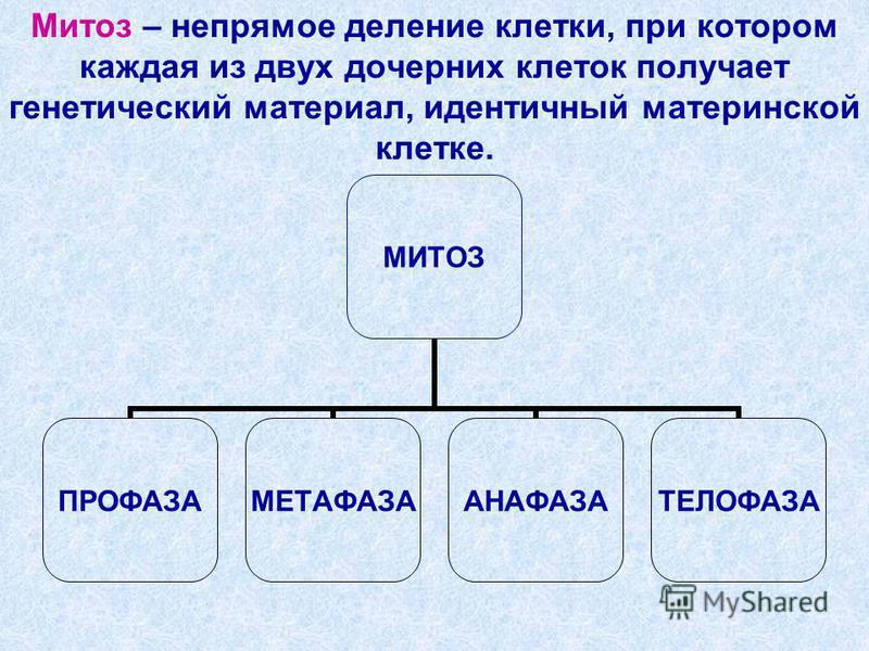 Митоз – непрямое деление клетки, при котором каждая из двух дочерних клеток получает генетический материал, идентичный материнской клетке. МИТОЗ ПРОФАЗАМЕТАФАЗААНАФАЗАТЕЛОФАЗА
