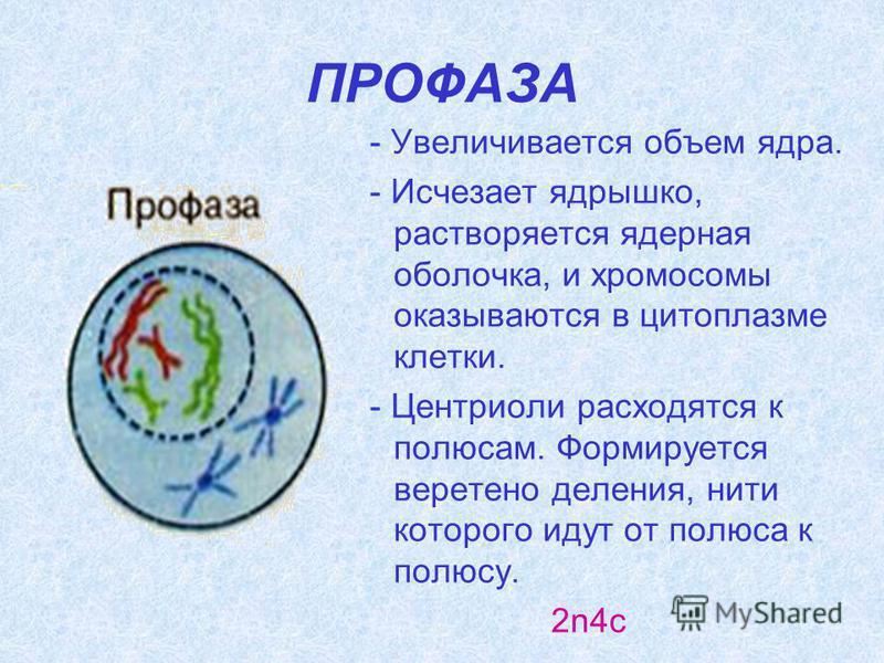 ПРОФАЗА - Увеличивается объем ядра. - Исчезает ядрышко, растворяется ядерная оболочка, и хромосомы оказываются в цитоплазме клетки. - Центриоли расходятся к полюсам. Формируется веретено деления, нити которого идут от полюса к полюсу. 2n4c