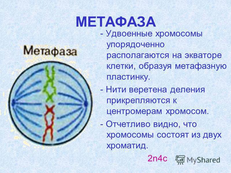 МЕТАФАЗА - Удвоенные хромосомы упорядоченно располагаются на экваторе клетки, образуя метафазную пластинку. - Нити веретена деления прикрепляются к центромерам хромосом. - Отчетливо видно, что хромосомы состоят из двух хроматид. 2n4c