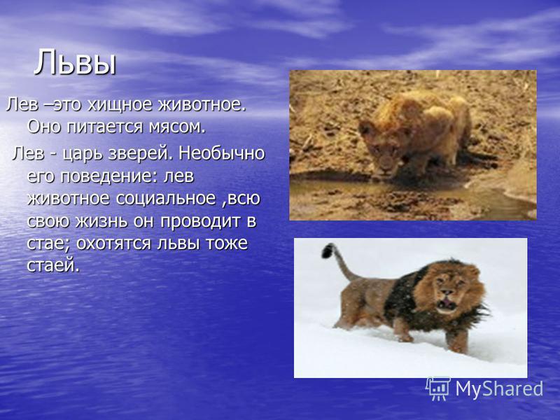 Львы Лев –это хищное животное. Оно питается мясом. Лев - царь зверей. Необычно его поведение: лев животное социальное,всю свою жизнь он проводит в стае; охотятся львы тоже стаей. Лев - царь зверей. Необычно его поведение: лев животное социальное,всю