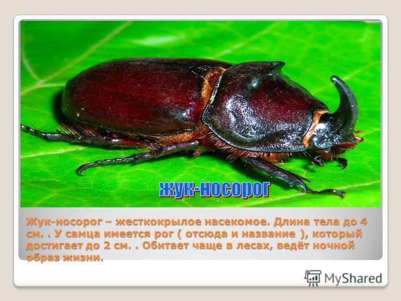 Жук-носорог – жесткокрылое насекомое. Длина тела до 4 см.. У самца имеется рог ( отсюда и название ), который достигает до 2 см.. Обитает чаще в лесах, ведёт ночной образ жизни.