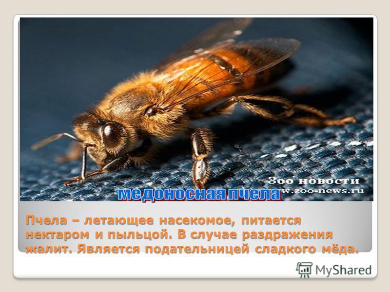 Пчела – летающее насекомое, питается нектаром и пыльцой. В случае раздражения жалит. Является подательницей сладкого мёда.