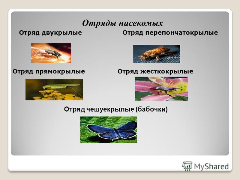 Отряды насекомых Отряд двукрылые Отряд перепончатокрылые Отряд прямокрылые Отряд жесткокрылые Отряд чешуекрылые (бабочки)