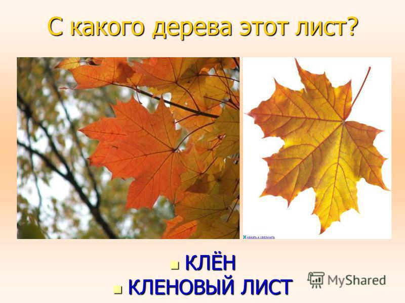 С какого дерева этот лист? КЛЁН КЛЁН КЛЕНОВЫЙ ЛИСТ КЛЕНОВЫЙ ЛИСТ
