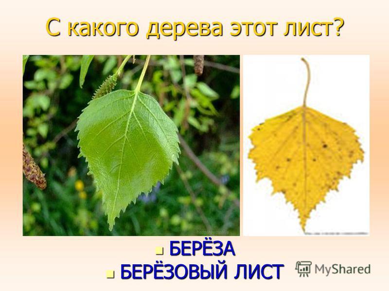 С какого дерева этот лист? БЕРЁЗА БЕРЁЗА БЕРЁЗОВЫЙ ЛИСТ БЕРЁЗОВЫЙ ЛИСТ