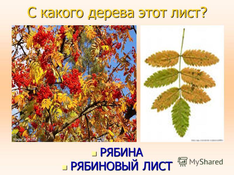 С какого дерева этот лист? РЯБИНА РЯБИНА РЯБИНОВЫЙ ЛИСТ РЯБИНОВЫЙ ЛИСТ