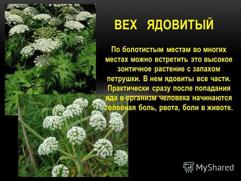 По болотистым местам во многих местах можно встретить это высокое зонтичное растение с запахом петрушки. В нем ядовиты все части. Практически сразу после попадания яда в организм человека начинаются головная боль, рвота, боли в животе. ВЕХ ЯДОВИТЫЙ