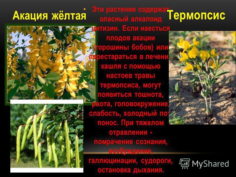 Эти растения содержат опасный алкалоид цитизин. Если наесться плодов акации (горошины бобов) или перестараться в лечении кашля с помощью настоев травы термопсиса, могут появиться тошнота, рвота, головокружение, слабость, холодный пот, понос. При тяже