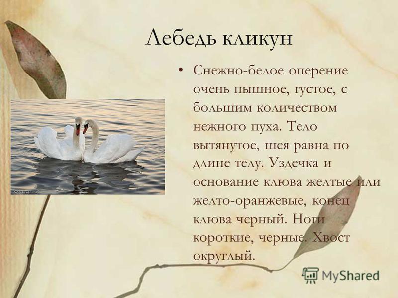 Лебедь кликун Снежно-белое оперение очень пышное, густое, с большим количеством нежного пуха. Тело вытянутое, шея равна по длине телу. Уздечка и основание клюва желтые или желто-оранжевые, конец клюва черный. Ноги короткие, черные. Хвост округлый.