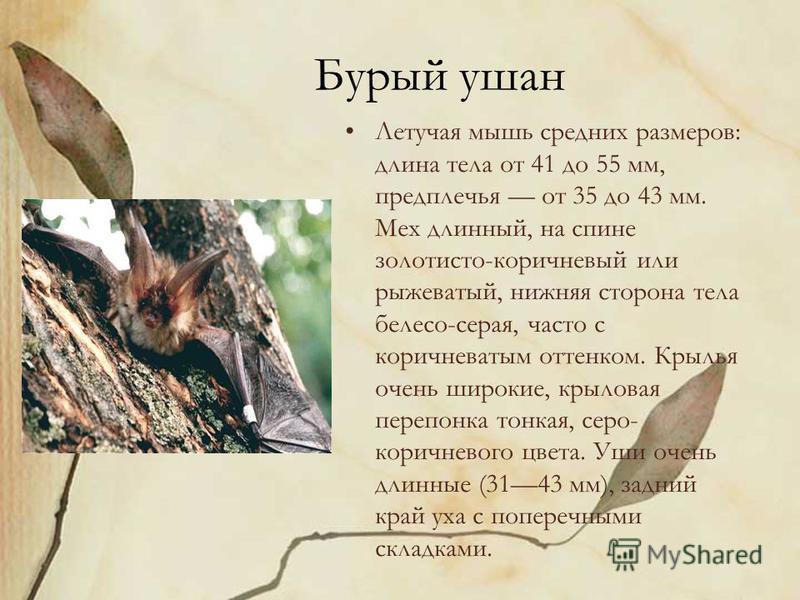 Бурый ушан Летучая мышь средних размеров: длина тела от 41 до 55 мм, предплечья от 35 до 43 мм. Мех длинный, на спине золотисто-коричневый или рыжеватый, нижняя сторона тела белесо-серая, часто с коричневатым оттенком. Крылья очень широкие, крыловая