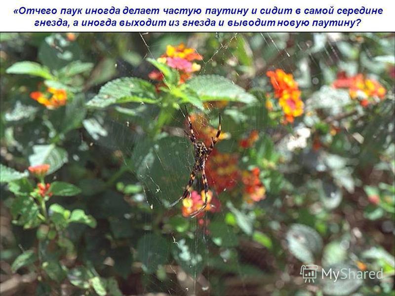 «Отчего паук иногда делает частую паутину и сидит в самой середине гнезда, а иногда выходит из гнезда и выводит новую паутину?
