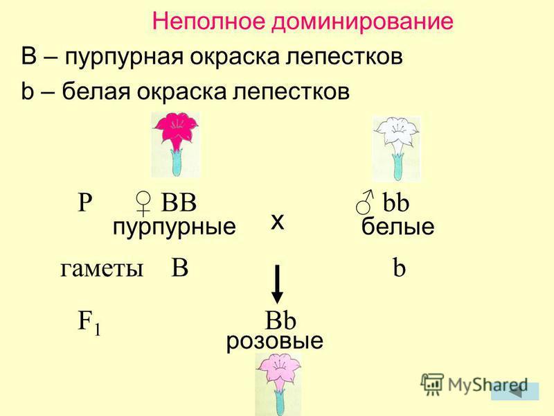 Неполное доминирование B – пурпурная окраска лепестков b – белая окраска лепестков P BB bb пурпурные белые гаметыBb F 1 Bb розовые x