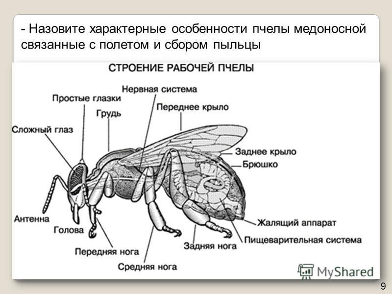 - Назовите характерные особенности пчелы медоносной связанные с полетом и сбором пыльцы 9