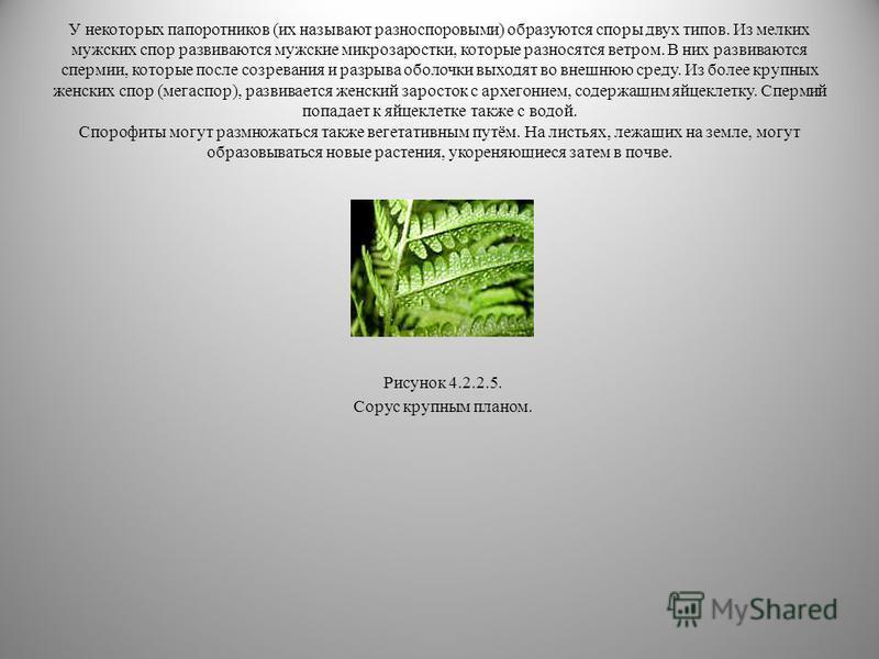 На нижней стороне листа созревают спорофиллы, иногда собранные в группы – сорусы. У некоторых папоротников листья или их отдельные фрагменты дифференцированы на зелёные и спороносные. Споры попадают на землю и прорастают в обоеполые гаметофиты (зарос