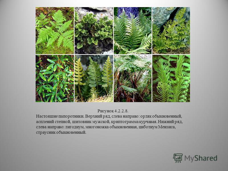 Отдел папоротниковидные включает один класс, подразделяемый на восемь подклассов. Три из них (Protopteridiidae, Archaeopteridiidae, Noeggerathiidae) вымерли ещё в перми. Современных папоротниковидных около десяти тысяч видов (300 родов). Наиболее при