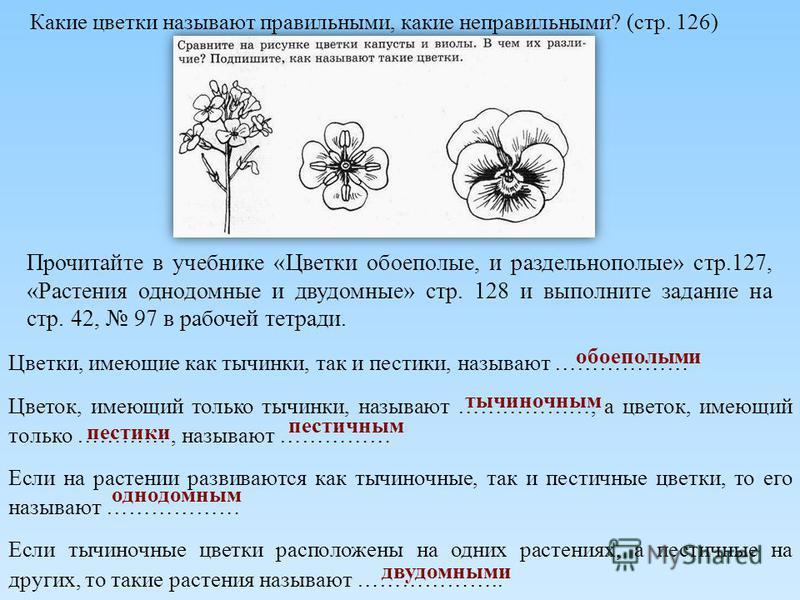 Какие цветки называют правильными, какие неправильными? (стр. 126) Прочитайте в учебнике «Цветки обоеполые, и раздельнополые» стр.127, «Растения однодомные и двудомные» стр. 128 и выполните задание на стр. 42, 97 в рабочей тетради. Цветки, имеющие ка