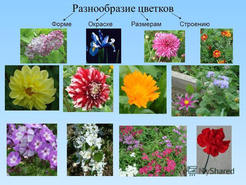 Разнообразие цветков Форме Окраске Размерам Строению