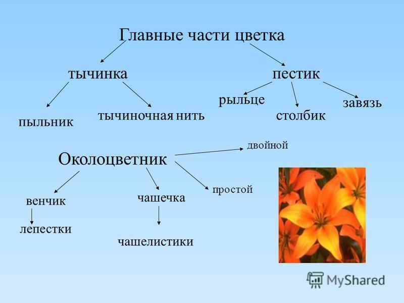 Главные части цветка тычинка пестик пыльник тычиночная нить рыльце столбик завязь Околоцветник венчик лепестки чашечка чашелистики двойной простой