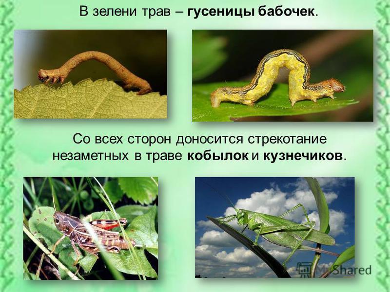 В зелени трав – гусеницы бабочек. Со всех сторон доносится стрекотание незаметных в траве кобылок и кузнечиков.