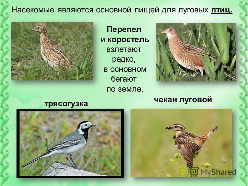 Насекомые являются основной пищей для луговых птиц. Перепел и коростель взлетают редко, в основном бегают по земле. чекан луговой трясогузка
