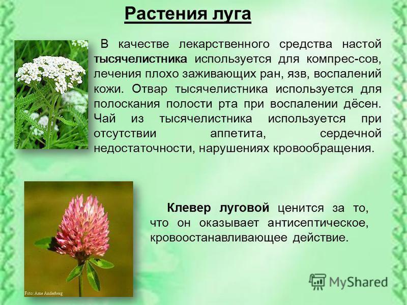 Растения луга В качестве лекарственного средства настой тысячелистника используется для компрес-сов, лечения плохо заживающих ран, язв, воспалений кожи. Отвар тысячелистника используется для полоскания полости рта при воспалении дёсен. Чай из тысячел