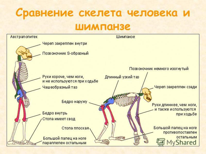 Сравнение скелета человека и шимпанзе