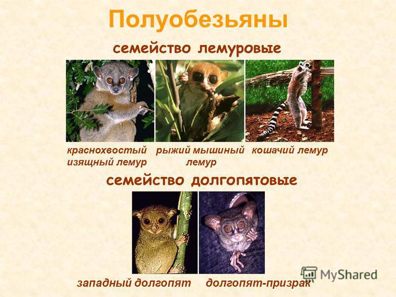 Полуобезьяны долгопят-призрак семейство лемуровые краснохвостый изящный лемур рыжий мышиный лемур кошачий лемур семейство долгопят новые западный долгопят