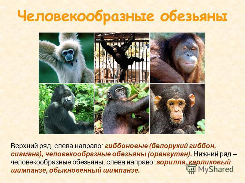 Верхний ряд, слева направо: гиббоновые (белорукий гиббон, сиаманг), человекообразные обезьяны (орангутан). Нижний ряд – человекообразные обезьяны, слева направо: горилла, карликовый шимпанзе, обыкновенный шимпанзе. Человекообразные обезьяны