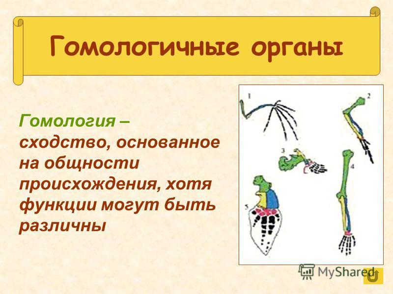 Гомологичные органы Гомология – сходство, основанное на общности происхождения, хотя функции могут быть различны