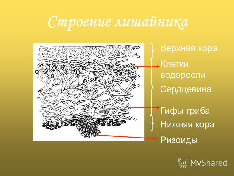 Строение лишайника Верхняя кора Клетки водоросли Сердцевина Гифы гриба Нижняя кора Ризоиды