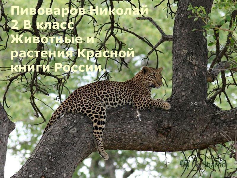 Пивоваров Николай 2 В класс Животные и растения Красной книги России.