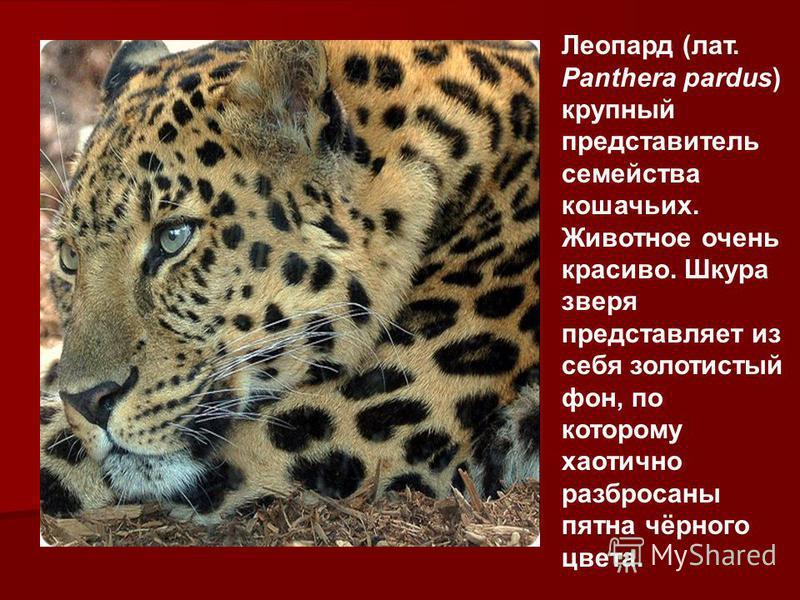 Леопард (лат. Panthera pardus) крупный представитель семейства кошачьих. Животное очень красиво. Шкура зверя представляет из себя золотистый фон, по которому хаотично разбросаны пятна чёрного цвета.