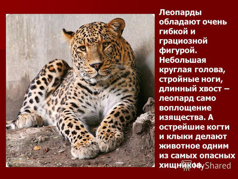 Леопарды обладают очень гибкой и грациозной фигурой. Небольшая круглая голова, стройные ноги, длинный хвост – леопард само воплощение изящества. А острейшие когти и клыки делают животное одним из самых опасных хищников.
