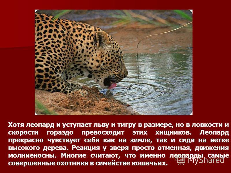 Хотя леопард и уступает льву и тигру в размере, но в ловкости и скорости гораздо превосходит этих хищников. Леопард прекрасно чувствует себя как на земле, так и сидя на ветке высокого дерева. Реакция у зверя просто отменная, движения молниеносны. Мно