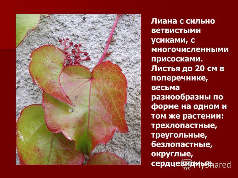 Лиана с сильно ветвистыми усиками, с многочисленными присосками. Листья до 20 см в поперечнике, весьма разнообразны по форме на одном и том же растении: трехлопастные, треугольные, безлопастные, округлые, сердцевидные.
