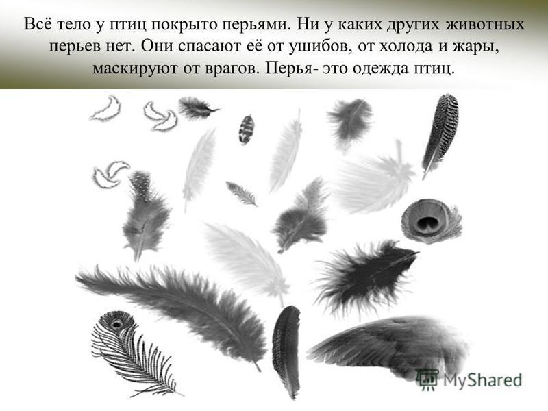 Всё тело у птиц покрыто перьями. Ни у каких других животных перьев нет. Они спасают её от ушибов, от холода и жары, маскируют от врагов. Перья- это одежда птиц.