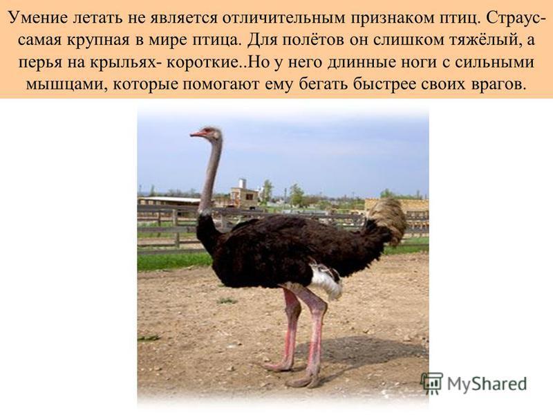Умение летать не является отличительным признаком птиц. Страус- самая крупная в мире птица. Для полётов он слишком тяжёлый, а перья на крыльях- короткие..Но у него длинные ноги с сильными мышцами, которые помогают ему бегать быстрее своих врагов.