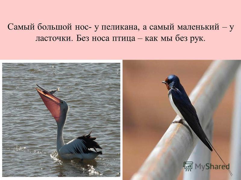 Самый большой нос- у пеликана, а самый маленький – у ласточки. Без носа птица – как мы без рук.