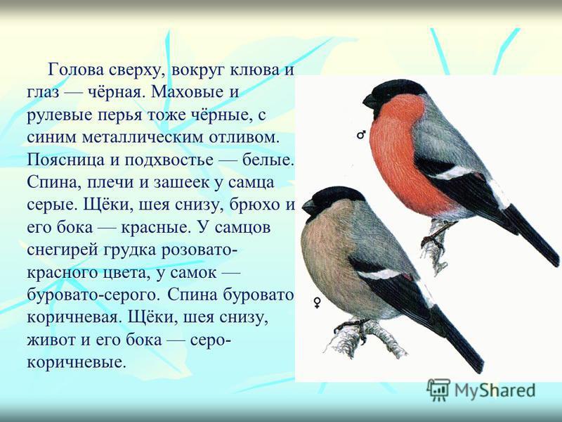 Голова сверху, вокруг клюва и глаз чёрная. Маховые и рулевые перья тоже чёрные, с синим металлическим отливом. Поясница и подхвостье белые. Спина, плечи и зашеек у самца серые. Щёки, шея снизу, брюхо и его бока красные. У самцов снегирей грудка розов