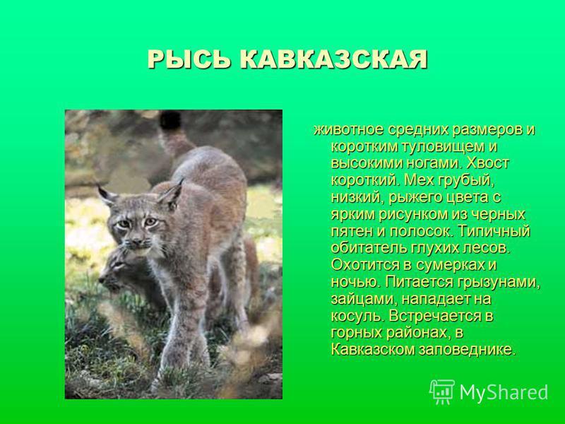 РЫСЬ КАВКАЗСКАЯ животное средних размеров и коротким туловищем и высокими ногами. Хвост короткий. Мех грубый, низкий, рыжего цвета с ярким рисунком из черных пятен и полосок. Типичный обитатель глухих лесов. Охотится в сумерках и ночью. Питается грыз