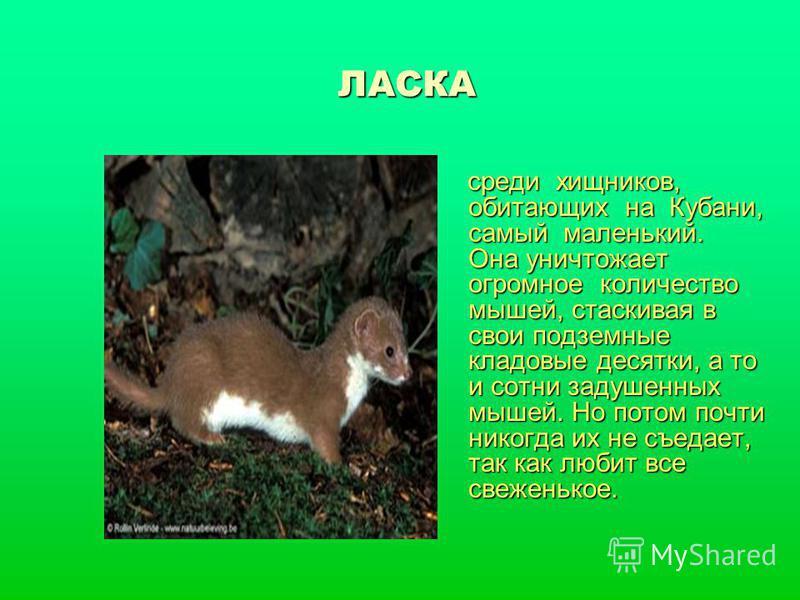 ЛАСКА среди хищников, обитающих на Кубани, самый маленький. Она уничтожает огромное количество мышей, стаскивая в свои подземные кладовые десятки, а то и сотни задушенных мышей. Но потом почти никогда их не съедает, так как любит все свеженькое. сред